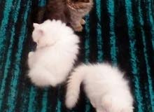للبيع مجموعة قطط بيرشن هاف بيكي فيس