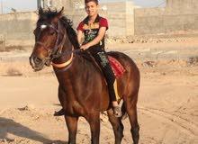 حصان اصيل مهجن للبيع