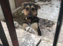 كلب جيرمان شبرد (GERMAN SHEPHERD) للبيع