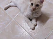 قطط نوع شيراز عمرها 4شهور