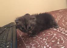 قطه شيرازية صغيرة اقل من شهر