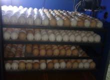 فقاسه سعه 700 بيضه للبيع او للبدل