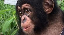 مطلوب قرد شمبانزي