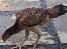دجاجة هراتية بياضة للبيع