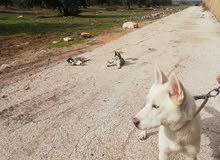 كلاب الاسكا