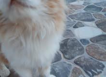 قط فارسي ( شيرازي  cold cat)  للبيع