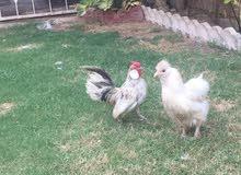 للبيع ديچ عدد 2 ودجاجه قطني