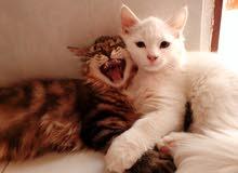 قطط شيرازي بأعمار صغيرة للبيع بسعر منافس جدا و خصم لمن يطلب أكثر من 2