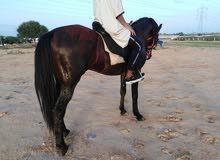 حصان طايب