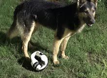 كلب جيرمن شيبرد