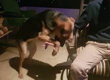 كلبه جيرمن شبر اصلي 8 شهور