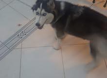 كلبة هاسكي