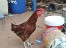 الدجاج الفرنسي العملاق