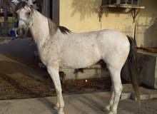 حصان أسباني تركيبه فريده وخالي من الإصابات على الفحص