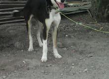 كلب من ام جيرمن شبرد واب عادي اليف