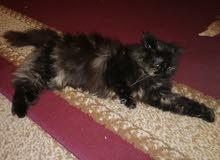 قطة هيمالاي