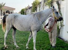 3 خيول اصيله لديها بطولات سبب البيع الحمدلله عندي غيرهم والسعر انخناف اليه ويصلحون للتدريب والتمشه