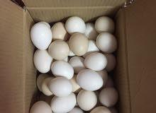 بيض دجاج محلي