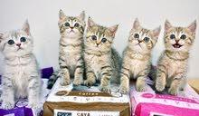 Beautiful Scottish Kittens