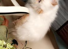قط بيكي فيس ابيض اورنج (بوينت ) اصيل