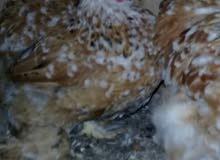 دجاجة زهري..للبيع عمر 6اشهر