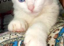 قطة خاو ماني او عين الماس