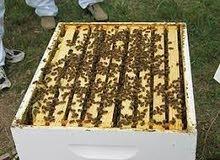 خلايا نحل إيطالي منتج للعسل 10 براويز فل للبيع