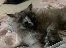 قطه اليفه جدا عمرها 3 شهور تقريبا وتم تطعيمها اول تطعيمه ونظيفه جدا