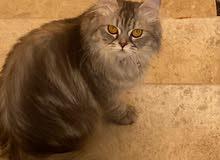 قطة همالايا