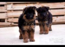 اجمل جراء جيرمن شولاين german shepherd puppy