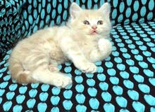 قطه انثى وذكر نوع شانشيلا العمر 3 اشهر السعر 200