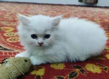 beautiful dollface persian kitten
