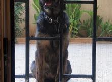 كلب عمره 7 شهور للبيع