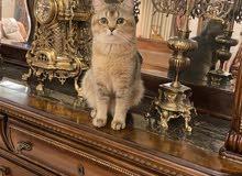 قط ذكر بريتش للتزاوج مطلوب انثى - golden grey british cat for mating