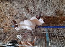 ارانب ذكور للبيع 5 شهور