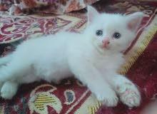 قطة شيرازى بيضاء بيور عيونها زرقاء 45 يوم