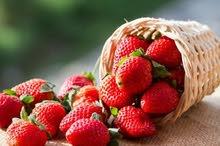 فراولة طازجة ومجمدة حصرياً من شركة اورجانيك للاستيراد والتصدير والتوكيلات التجارية والتوريدات