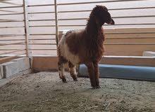 رخل نعيميه بيور  - naeimi goat