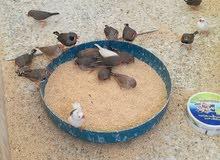 عصافير جنه للبيع