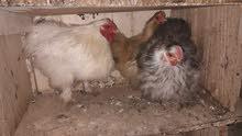 دجاج قطني للبيع