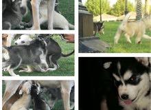 كلاب الهاسكي السيبيري الوان مميزة ( انتاج محلي متعودين على الجو)