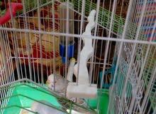جوز طيور حب مع قفص شغالات