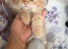 قطط شيرازي للبيع ذكور