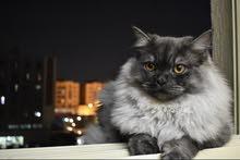 قط سيبيري