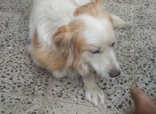 كلب لولي. ذكر