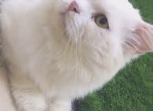 قطط شيرازية أصل مُطعمة بسعر رخيص