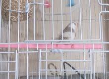 ذكر الزيبرا جاهز للتزاوج للبيع