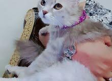قطة من النوع الشيرازي
