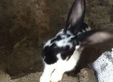 أرنب للبيع دكر