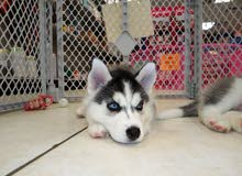 siberian husky puppy for sale two moths old blue eyes long hair large size 0791419242